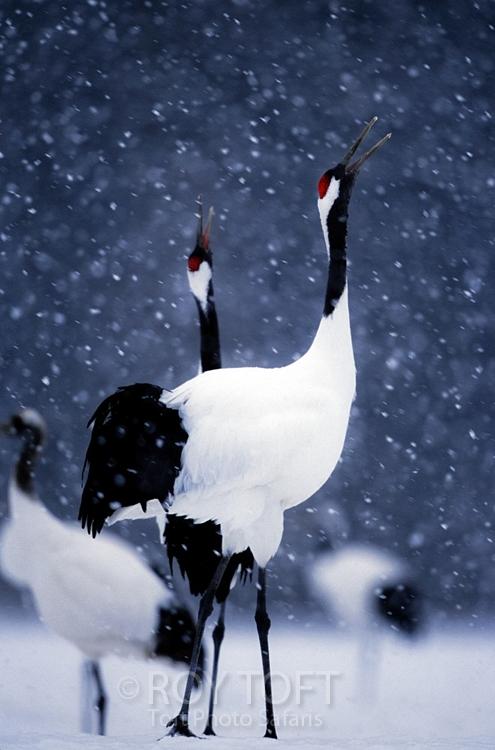 chim hac 3 Chim hạc   Biểu tượng văn hóa của Nhật Bản