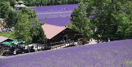 duhochoasen69 Ngắm hoa Lavender bằng 'bus máy kéo' ở Hokkaido