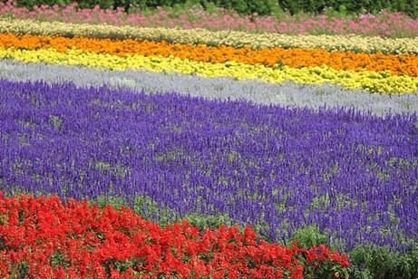 duhochoasen94 Ngắm hoa Lavender bằng 'bus máy kéo' ở Hokkaido