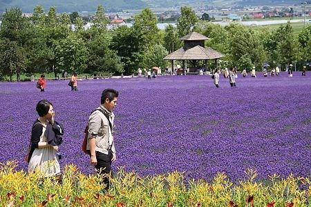 duhochoasen123 Ngắm hoa Lavender bằng 'bus máy kéo' ở Hokkaido