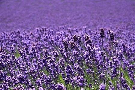 duhochoasen411 Ngắm hoa Lavender bằng 'bus máy kéo' ở Hokkaido
