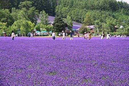 duhochoasen511 Ngắm hoa Lavender bằng 'bus máy kéo' ở Hokkaido