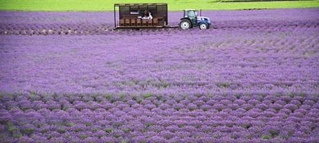 duhochoasen85 Ngắm hoa Lavender bằng 'bus máy kéo' ở Hokkaido