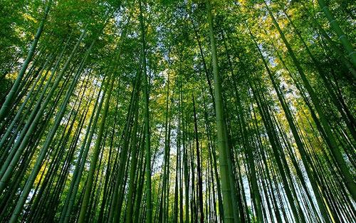 Rừng tre Sagano – khu rừng kỳ diệu
