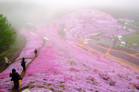 hoa nhat ban duhochoasen 01 Thảm hoa tráng lệ ở Nhật Bản