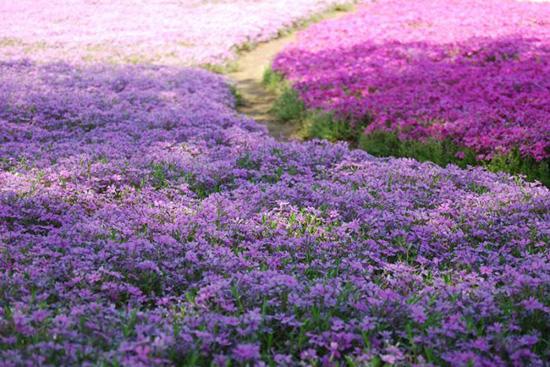 hoa nhat ban duhochoasen 02 Thảm hoa tráng lệ ở Nhật Bản