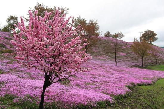 hoa nhat ban duhochoasen 03 Thảm hoa tráng lệ ở Nhật Bản