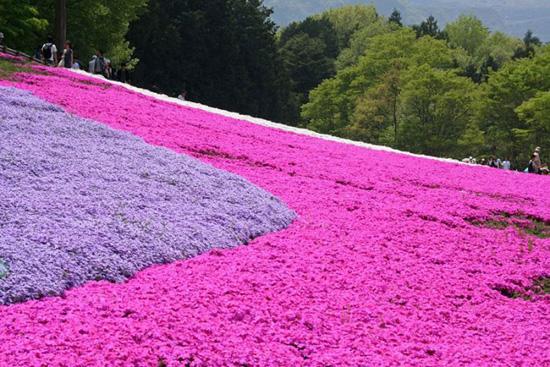 hoa nhat ban duhochoasen 07 Thảm hoa tráng lệ ở Nhật Bản
