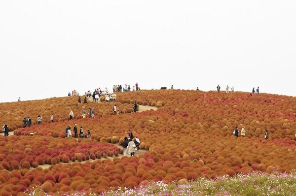 cong vien Hitachi Thiên đường hoa bốn mùa ở Nhật