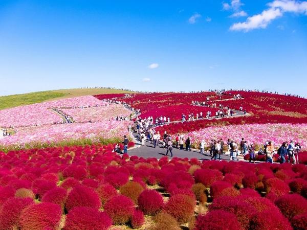 cong vien Hitachi 03 Thiên đường hoa bốn mùa ở Nhật
