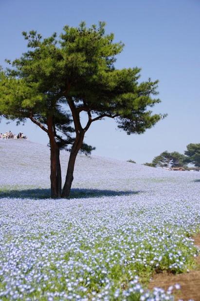 cong vien Hitachi 05 Thiên đường hoa bốn mùa ở Nhật