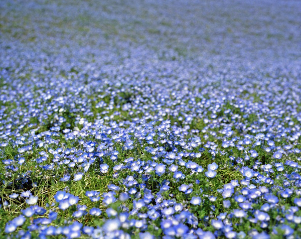 cong vien Hitachi 07 Thiên đường hoa bốn mùa ở Nhật