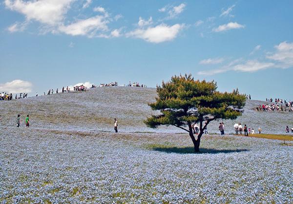 cong vien Hitachi 08 Thiên đường hoa bốn mùa ở Nhật
