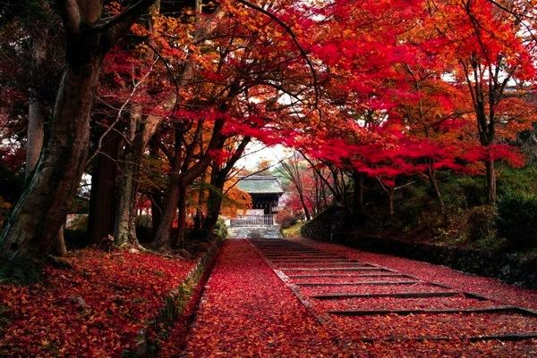 thu vui ngam la vang tai nhat ban4 Thú vui ngắm lá vàng tại Nhật Bản