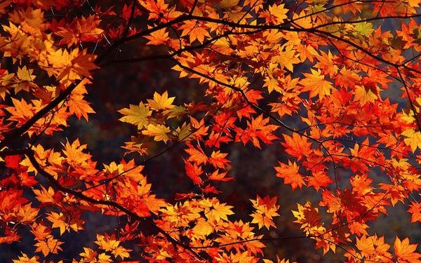 thu vui ngam la vang tai nhat ban5 Thú vui ngắm lá vàng tại Nhật Bản