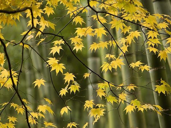 thu vui ngam la vang tai nhat ban6 Thú vui ngắm lá vàng tại Nhật Bản