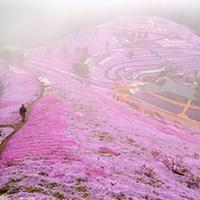 Thảm hoa tráng lệ ở Nhật Bản