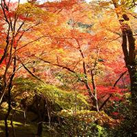 Thú vui ngắm lá vàng tại Nhật Bản