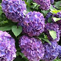 Vẻ đẹp rực rỡ của hoa tú cầu trong mùa mưa ở Nhật