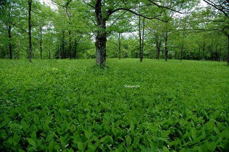 duhochoasen716 Thung lũng hoa Linh Lan ở Hokkaido