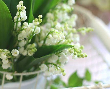 duhochoasen1010 Thung lũng hoa Linh Lan ở Hokkaido