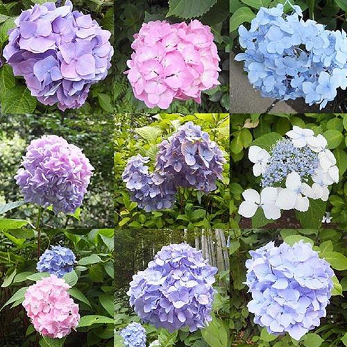 hoa tu cau nhat ban Vẻ đẹp rực rỡ của hoa tú cầu trong mùa mưa ở Nhật