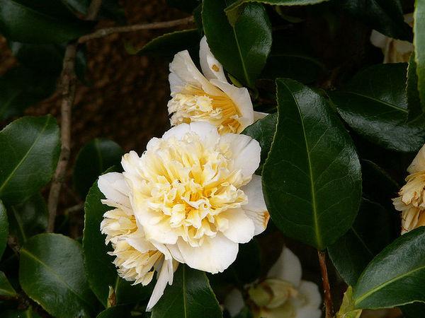 yellow tsubaki Ý nghĩa 17 loài hoa ở Nhật Bản