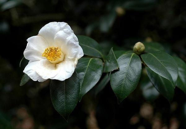 White Tsubaki Ý nghĩa 17 loài hoa ở Nhật Bản