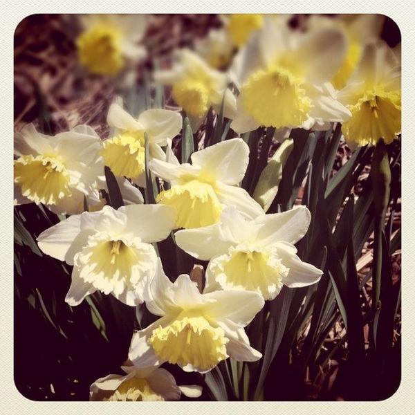 Suisen Ý nghĩa 17 loài hoa ở Nhật Bản