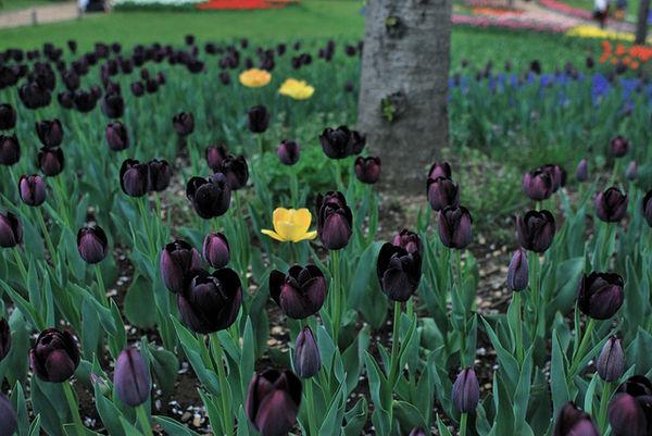 Kiiroichurippu Ý nghĩa 17 loài hoa ở Nhật Bản