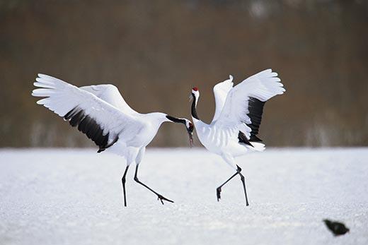 chim hac 4 Chim hạc   Biểu tượng văn hóa của Nhật Bản
