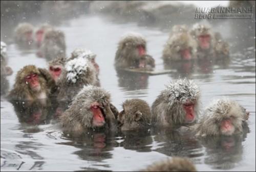 Ngộ nghĩnh bầy khỉ tuyết tắm suối nước nóng