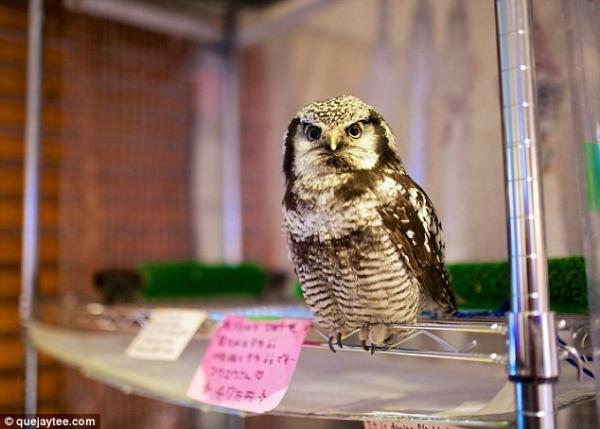 quan cafe cho nhung nguoi thich chim cu o nhat ban 2 Quán cafe cho những người thích chim cú ở Nhật