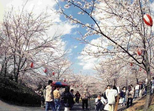 Sakura và Hanami