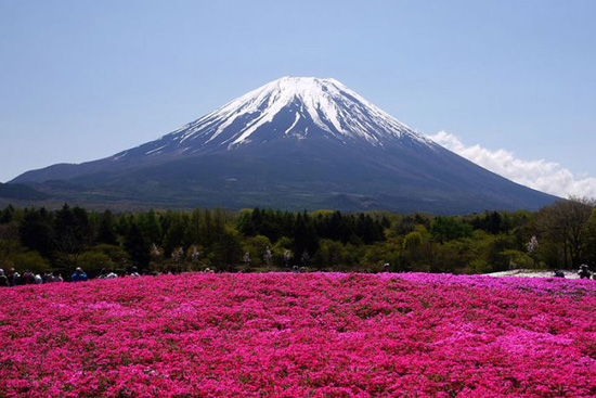hoa nhat ban duhochoasen 04 Thảm hoa tráng lệ ở Nhật Bản