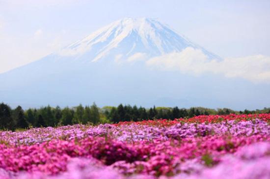hoa nhat ban duhochoasen 05 Thảm hoa tráng lệ ở Nhật Bản