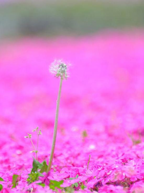 hoa nhat ban duhochoasen 06 Thảm hoa tráng lệ ở Nhật Bản