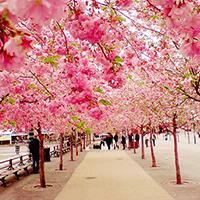 Chiêm ngưỡng vẻ đẹp của các loài hoa tháng 5 tại Nhật Bản