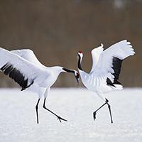 Chim hạc – Biểu tượng văn hóa của Nhật Bản