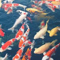 Ngắm cá Koi Nhật Bản giữa lòng TP HCM