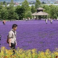 Ngắm hoa Lavender bằng 'bus máy kéo' ở Hokkaido