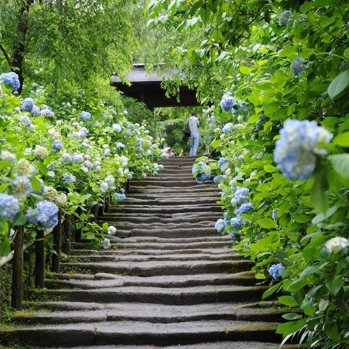 den Ajisai nhat ban Vẻ đẹp rực rỡ của hoa tú cầu trong mùa mưa ở Nhật