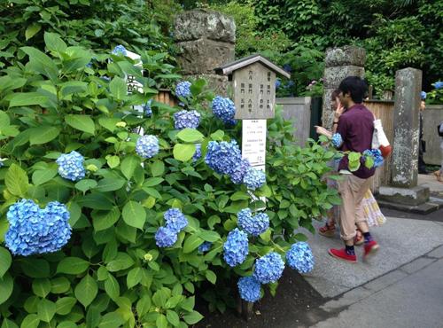 ajisai Vẻ đẹp rực rỡ của hoa tú cầu trong mùa mưa ở Nhật